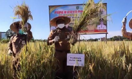 Panen Raya Di Desa Miau Baru Kongbeng Bersama Plt. Bupati Kutai Timur
