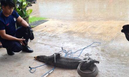 Tim Rescue DPKP Kutim Amankan Biawak Ukuran 2 Meter di Rumah Warga